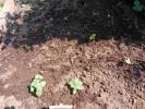 超初心者家庭菜園 花壇のシソが発芽したのを場所移動 これって大丈夫なのかしら?